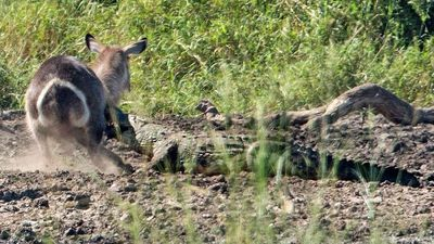 Latest Sightings: Waterbuck gets to live another day after escaping crocodile