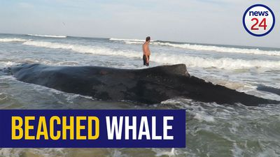WATCH: Stranded humpback whale dies in Eastern Cape