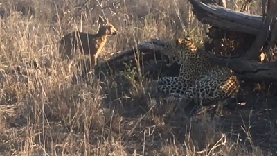 Latest Sightings: Leopard plays with crying duiker like it's a toy (WARNING: GRAPHIC)