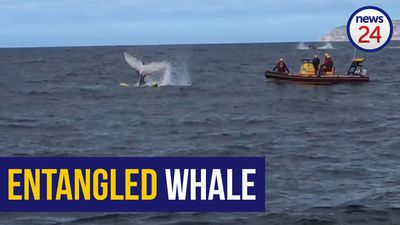WATCH: Whale calf freed from fishing gear near Simon's Town