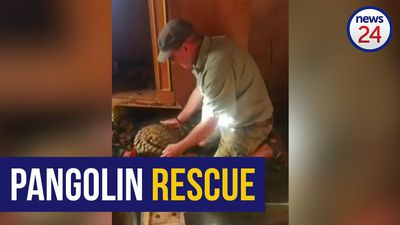 WATCH: Rare pangolin rescued from poachers returned to the wild