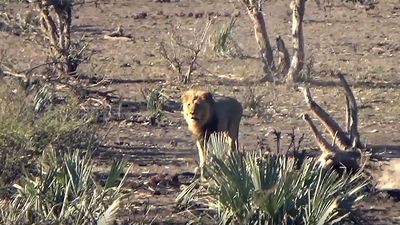 Latest Sightings: Two young lions gang-up in territorial turf take-over