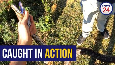 WATCH: KZN snake catcher finds two pythons in one day
