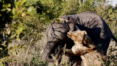 Latest Sightings: Baby elephant barely escapes claws of death