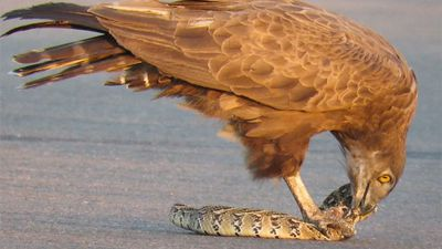 Latest Sightings: Brown snake makes light meal of puff adder