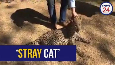 WATCH: Leopard caught, darted in Benoni laundry room