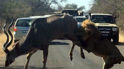 Latest Sightings: Kruger tourists treated to front-row lion hunt of kudu