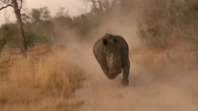 Latest Sightings: Safari vehicle dashes through bush to avoid white rhino's charge