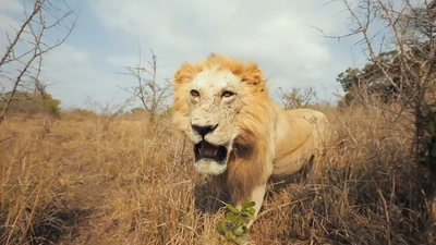 Runners in iMfolozi Game Reserve gets fright from stuffed lion