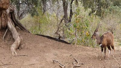 Latest Sightings: Python stalks a bushbuck in Mapungubwe