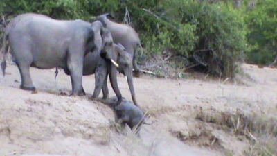 Latest Sightings: Elephant herd stops to help hapless baby elephant stuck on river bank