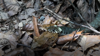 Latest Sightings: Power struggle between amphibian and reptile as snake eats frog alive