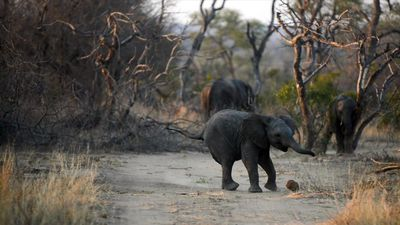 Latest Sightings | Elephant playing soccer with a dung ball is all the cute rolled into one