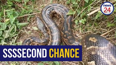 WATCH | Python that survived stabbing and stoning set free