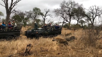 Latest Sightings: Leopard does somersault as hyena interrupts kill (Warning: Graphic)