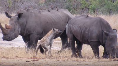 Latest Sightings: Hyenas attacking rhino shows they truly are the bottom feeders of the bush