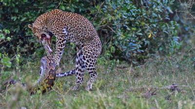 Latest Sightings: Leopard and python in death match