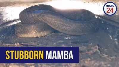 WATCH | Snake handler struggles to remove a full-bellied black mamba from a stack of pallets