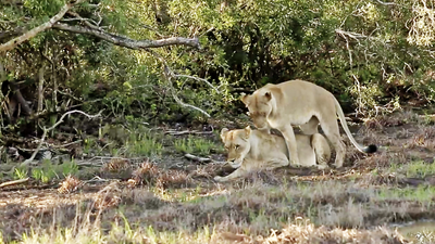Latest Sightings: Seemingly lesbian lionesses caught in flirtatious coupling