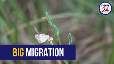 WATCH | Have you spotted the white butterflies swarming Joburg amid migration?