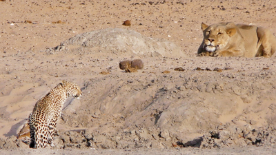 Latest Sightings: Turns out a leopard's a lot faster than a lion