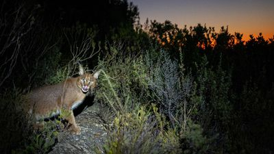 EXCLUSIVE: Hermes the caracal spotted on the slopes of Table Mountain in Cape Town