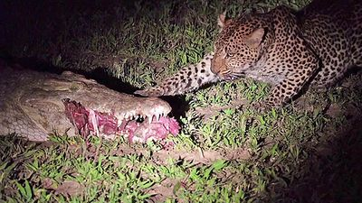 Latest Sightings | leopard snatches crocodile's meal right from its mouth