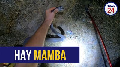 WATCH | Making hay: 2.3m black mamba found hiding under bales of hay at KZN scrapyard