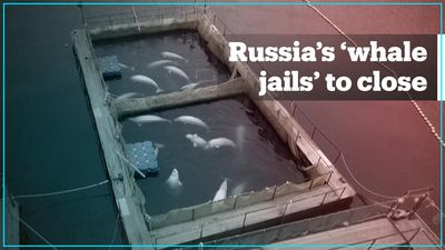 50 belugas captive in Russian 'whale jail' to be released