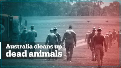 Military personnel clean up dead wildlife in Australia