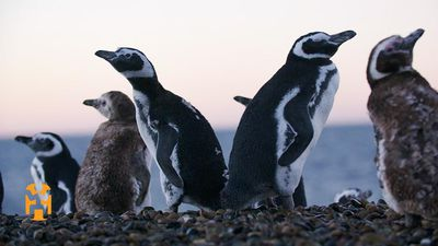 Positive Footprints - Penguin Conservation in Patagonia
