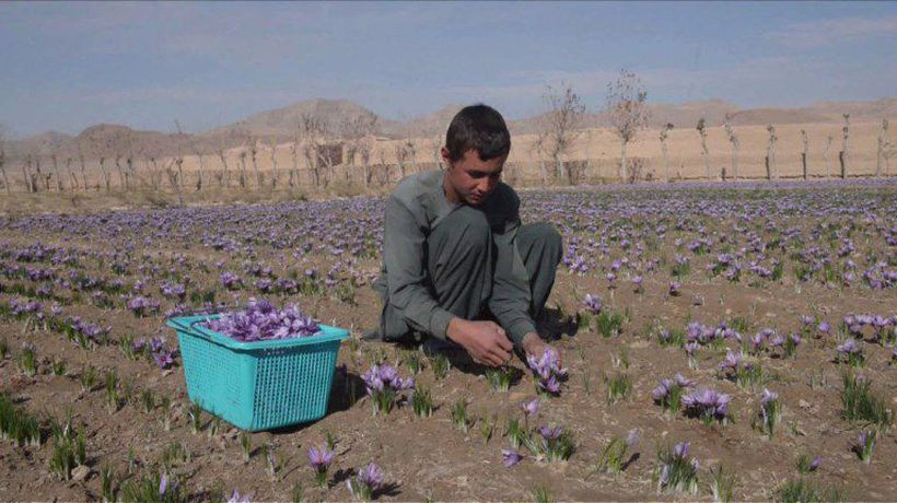 Red gold: Afghanistan saffron production grows