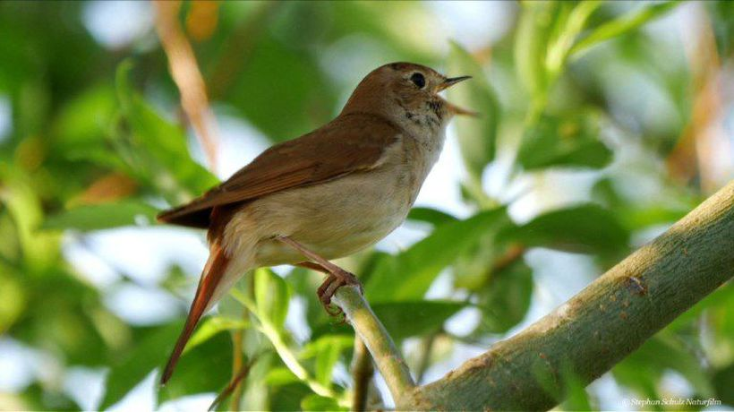 Sleepless in Berlin: Nightingales flock to city parks