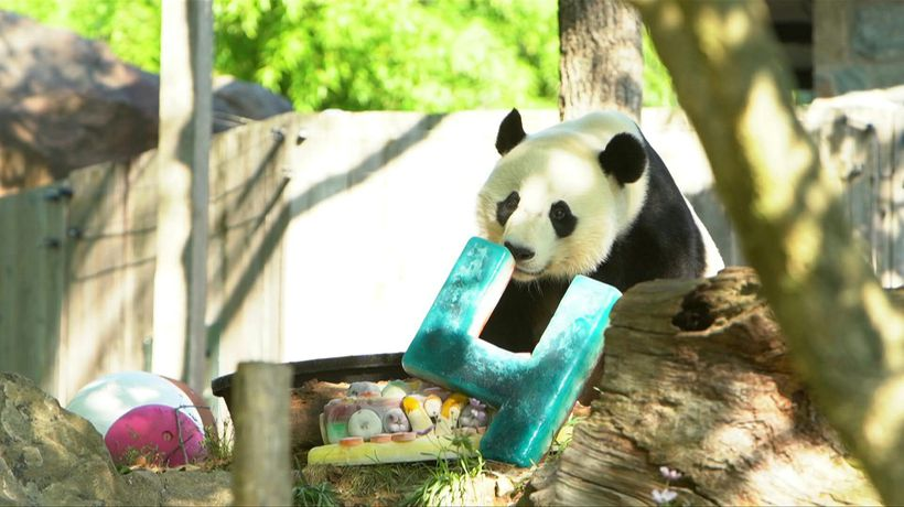 US: Giant panda Bei Bei celebrates his 4th birthday at DC's National Zoo