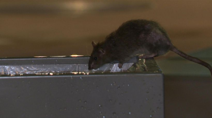 Rat race: rodents become talking point of Paris polls