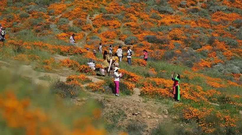 Crowds trek to California canyon for poppy bloom