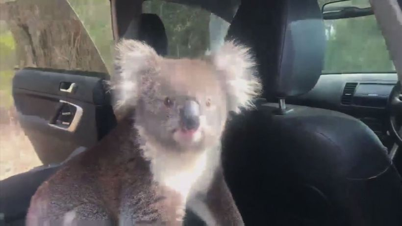 Australia koala sneaks into car to cool off in AC