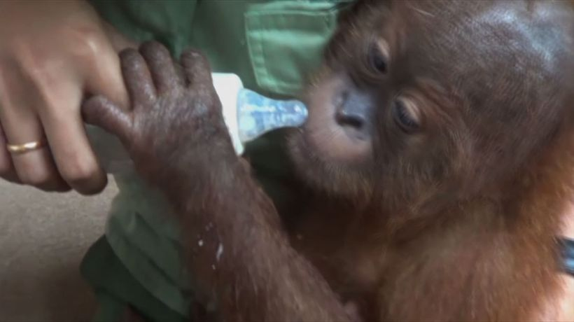 Indonesia arrests Russian for smuggling orangutan