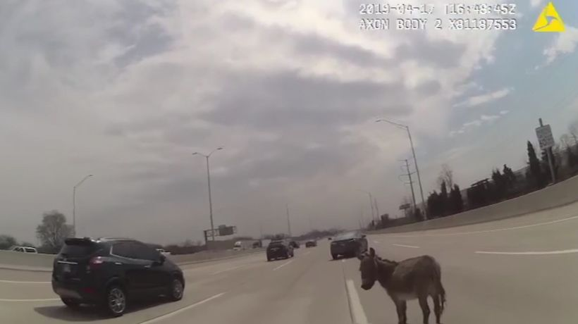 Officer corrals donkey on Chicago-area interstate