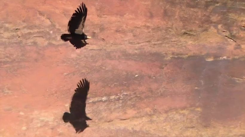 Zion National Park condors may have a new chick