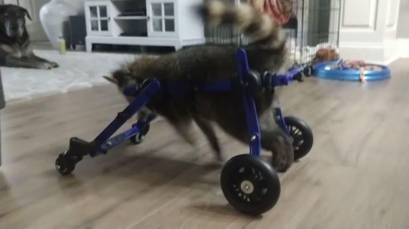 Disabled raccoon gets around in new wheelchair