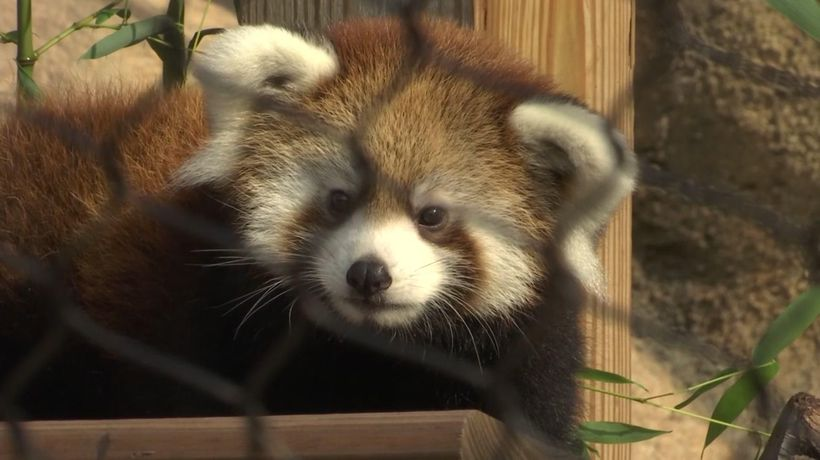 Milwaukee zoo debuts red panda cub