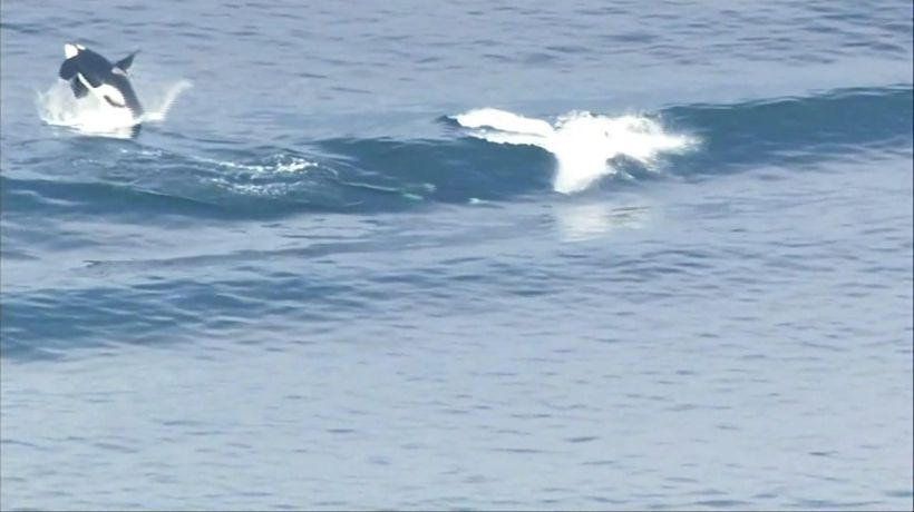 Orcas catch a wave in Puget Sound near Seattle