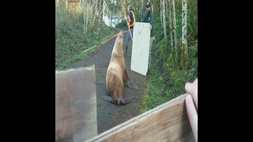 Sea lion resists help back home from rural road