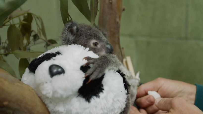 Orphaned koala thriving with help from zookeepers