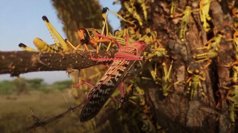 Locusts threaten Kenya's food supply chain