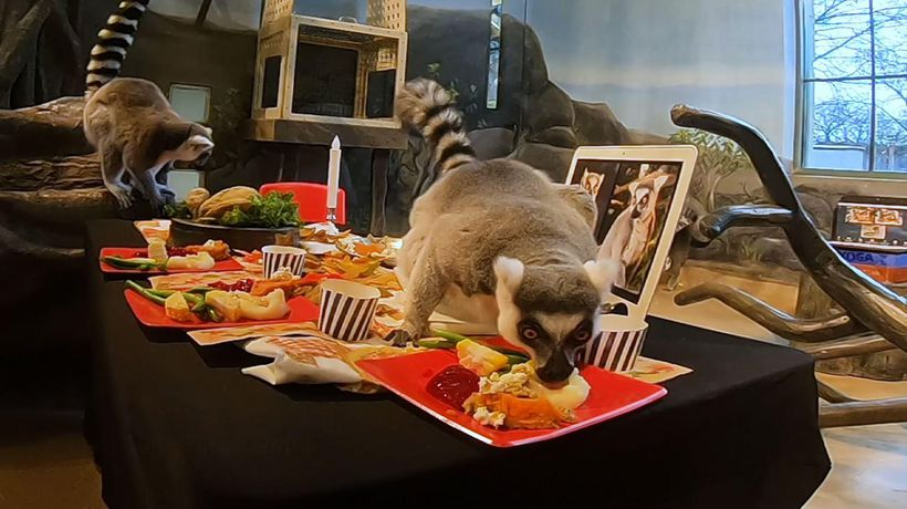 Lemurs get Thanksgiving feast at Chicago area zoo