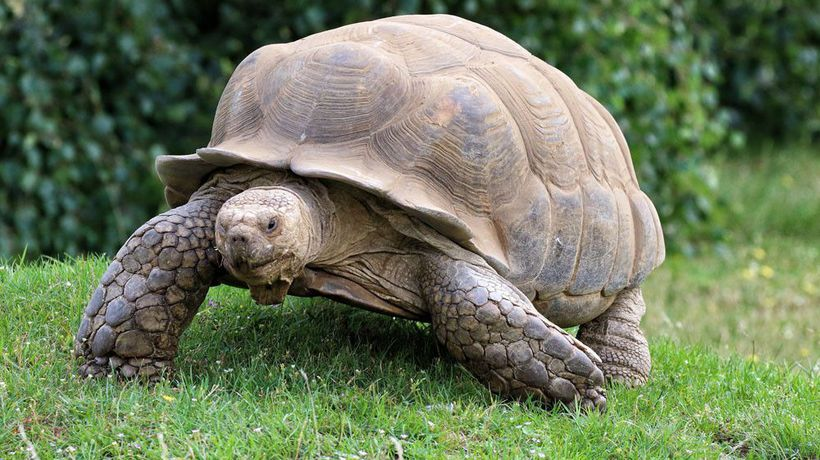 Giant tortoise escapes from owner and wonders a mile on the loose