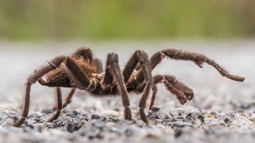 Tarantula on the roof turned out to be Halloween prop