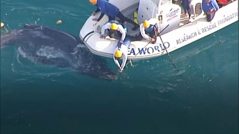 Baby whale rescue